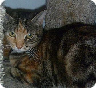 Domestic Shorthair Cat for adoption in Hamburg, New York - Shine Bright