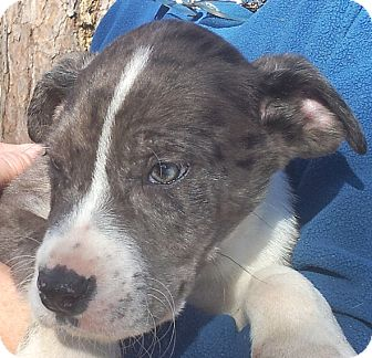 Great Dane/American Bulldog Mix Puppy for adoption in Groton