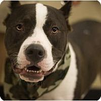 Adopt A Pet :: Gunner - Arlington, TX