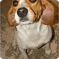 Adopt A Pet :: Maggie - Courtesy - Indianapolis, IN