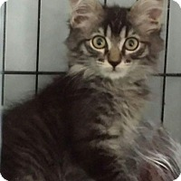 Adopt A Pet :: Pounce DeLeon - Chandler, AZ