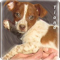 Adopt A Pet :: Tiana-Adoption Pending - Marlborough, MA