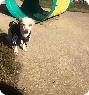 Chihuahua Mix Dog for adoption in Fredericksburg, Virginia - Pepe