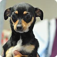 Adopt A Pet :: Divatox - Gadsden, AL