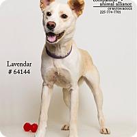 Adopt A Pet :: Lavendar - Baton Rouge, LA