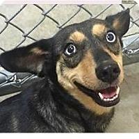 Adopt A Pet :: Tara - Springdale, AR