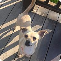 Adopt A Pet :: Goldie - Newtown, CT