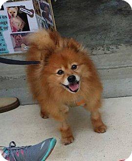 Pomeranian Mix Dog for adoption in Delaware, Ohio - Clark
