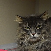 Domestic Longhair Cat for adoption in Pottsville, Pennsylvania - Gery