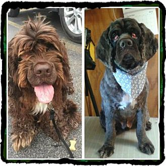Cocker Spaniel Dog for adoption in Livonia, Michigan - Benji-ADOPTION PENDING