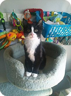 Domestic Shorthair Kitten for adoption in Millersville, Maryland - Jenny