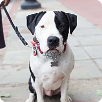 Adopt A Pet :: Patch - WELL TRAINED! - Washington, DC