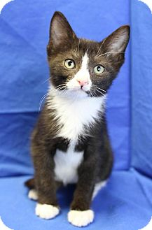 Domestic Shorthair Kitten for adoption in Winston-Salem, North Carolina - Blaze