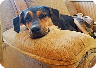 Beagle/Rottweiler Mix Dog for adoption in Kingston, Tennessee - Sophie
