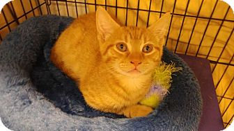 Domestic Shorthair Kitten for adoption in Dallas, Texas - Kubo