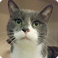Domestic Shorthair Cat for adoption in Colorado Springs, Colorado - Toby