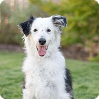 Border Collie/Australian Shepherd Mix Dog for adoption in Fresno, California - Jax