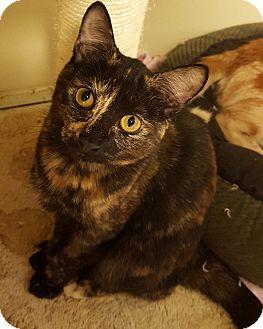 Domestic Shorthair Kitten for adoption in Grayslake, Illinois - Andee