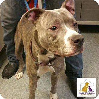 Pit Bull Terrier Mix Dog for adoption in Eighty Four, Pennsylvania - Jekyll
