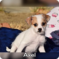 Adopt A Pet :: Axel - Rosamond, CA