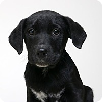 Border Collie Mix Puppy for adoption in Edina, Minnesota - Taurus D161911: NO LONGER ACCEPTING APPLICATIONS