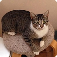 Domestic Shorthair Cat for adoption in Thornhill, Ontario - Chloe