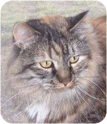 Maine Coon Cat for adoption in Andover, Kansas - Little Bit