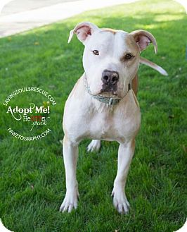 American Staffordshire Terrier/American Bulldog Mix Dog for adoption in Scottsdale, Arizona - Lily