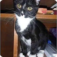 Adopt A Pet :: Grissini - San Ramon, CA