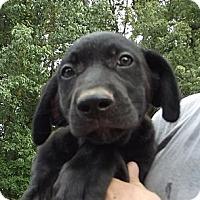 Adopt A Pet :: Rollo - AKA  Porky - Allentown, PA