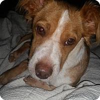 Adopt A Pet :: Scrappy doo - Scottsdale, AZ