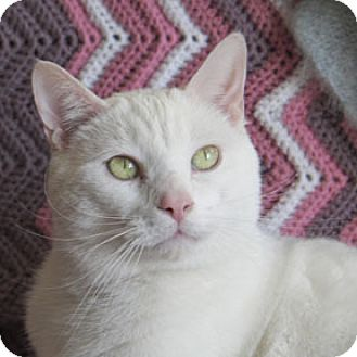 Domestic Shorthair Cat for adoption in Verdun, Quebec - Basile