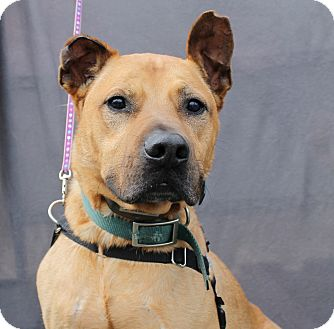 Rhodesian Ridgeback/Shepherd (Unknown Type) Mix Dog for adoption in Inglewood, California - Dr. Dre