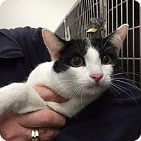 Domestic Shorthair Cat for adoption in Cincinnati, Ohio - Tre