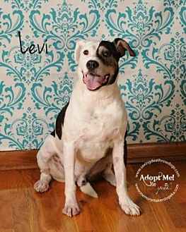 Pit Bull Terrier Mix Dog for adoption in Topeka, Kansas - Levi
