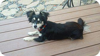 Spaniel (Unknown Type)/Papillon Mix Dog for adoption in El Segundo, California - Bugsy