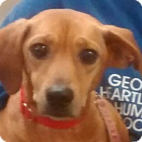 Dachshund Dog for adoption in Newnan, Georgia - Zoom