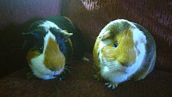 Guinea Pig for adoption in San Antonio, Texas - Baxter & Cruiser