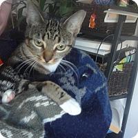 Adopt A Pet :: MIRABELLA: Magic Cuddly Beauty - New York, NY