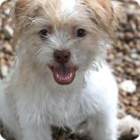 Adopt A Pet :: Peppermint Patty MEET HER - Norwalk, CT