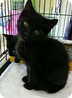 Domestic Shorthair Kitten for adoption in Randolph, New Jersey - Dante -so friendly