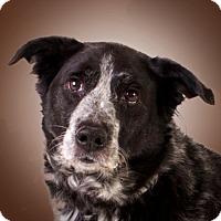Adopt A Pet :: Lucy - Prescott, AZ