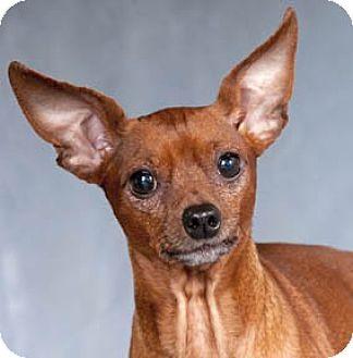 Toy Dog Rescue California