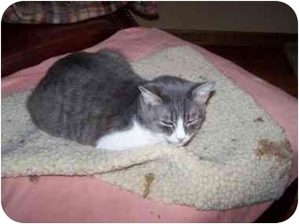 Domestic Shorthair Cat for adoption in Chattanooga, Tennessee - Lizzie