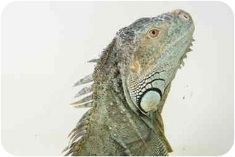 Iguana for adoption in Richmond, British Columbia - George