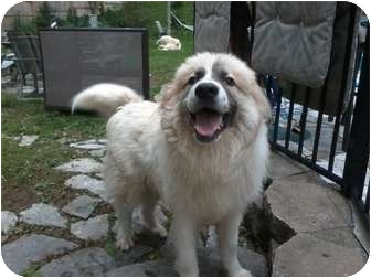 Great Pyrenees Dog for adoption in Wayne, New Jersey - Jack Frost