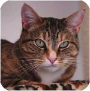 Domestic Shorthair Cat for adoption in El Cajon, California - Romano