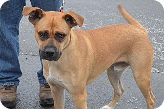 Boxer Mix Dog for adoption in New Manchester, West Virginia - Jack