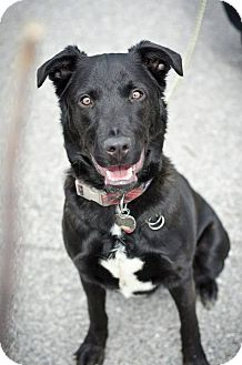 Labrador Retriever Mix Dog for adoption in Youngstown, Ohio - Maxx ~ Adoption Pending