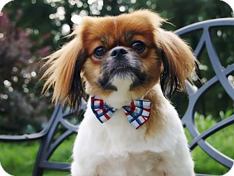 Tibetan Spaniel Dog for adoption in Princeton, Kentucky - Oscar